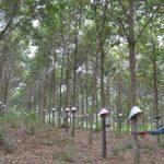 Kon Tum:Cháy hơn 3.000 cây cao su