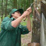 Nông trường Sông Giêng (Cao su Bình Thuận): Duy trì ổn định năng suất vườn cây