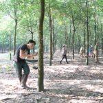 Kon Tum trồng mới gần 2.016 ha cao su tiểu điền