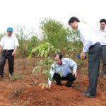Cao su Chư Sê thu trên 3,5 triệu đồng/năm/ha trồng xen cà phê
