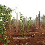 Đổ xô trồng chanh dây: Nông dân đang đu dây