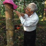 Cao su Nam Giang – Quảng Nam đưa 413 ha cao su vào khai thác