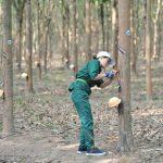 Thanh niên xung phong Tỉnh đoàn Hà Tĩnh trồng mới 100 ha cao su