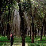 Giữ rừng cao su
