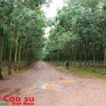 Cao su Chư Păh sẽ ứng dụng phần mềm quản lý vườn cây