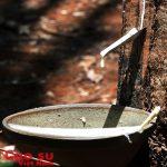 Mùa cao su thiếu nước