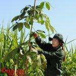 Sinh trưởng cao su phụ thuộc vào cây trồng xen