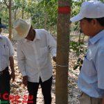 Đưa trên 1.200 ha cao su tại Campuchia vào khai thác