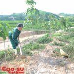 Cao su Nghệ An trồng mới 800 ha trong năm 2016