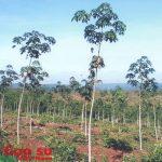 Hướng dẫn thực hiện thủ tục miễn tiền thuê đất trên cao su tái canh