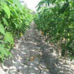 Phòng trị bệnh trên cao su: Bệnh rụng lá mùa mưa