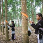Lai Châu: Vàng trắng khơi dòng