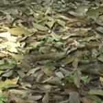 Bệnh rụng lá mùa mưa lan rộng