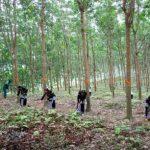 Lai Châu triển khai dự án trồng rừng thay thế