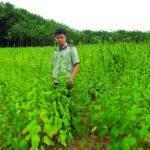 Lời trên 90 triệu nhờ trồng xen mè