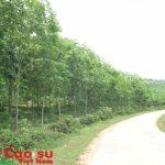 Tái cơ cấu diện tích Cao su Thanh Hóa, Hà Tĩnh, Hương Khê - Hà Tĩnh