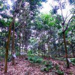 Công ty CPCS Hà Giang chủ động phòng chống rét cho vườn cây