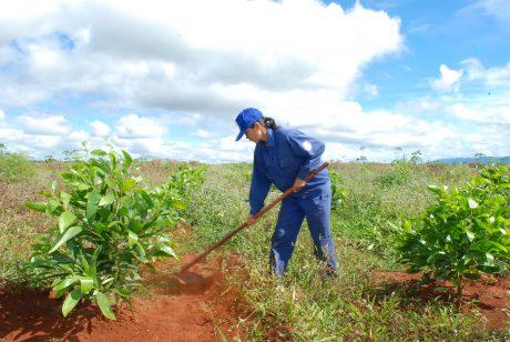 Công nhân Nông trường Hòa Bình làm cỏ trên hàng keo lai trồng xen năm thứ 2. Ảnh: Văn Vĩnh