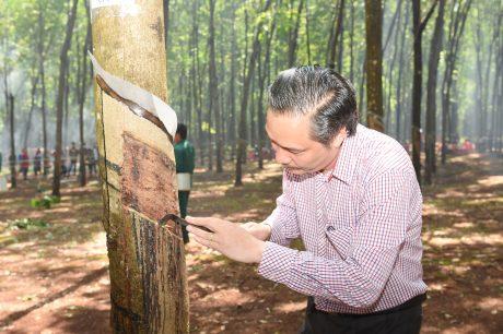 Ông Ngô Quyền- GĐ công ty tiến hành khai miệng cạo trong lễ ra quân khai thác mủ cao su