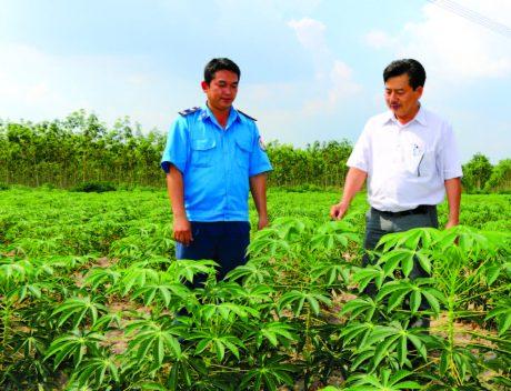Anh Nguyễn Thành Được giới thiệu về mô hình trồng xen mì trong vườn cao su KTCB.