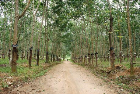 Vườn cây cao su ở huyện Đắk Tô, Kon Tum.