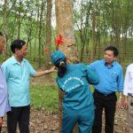 Cao su Hà Tĩnh phấn đấu vượt khó, đạt sản lượng 1.780 tấn mủ
