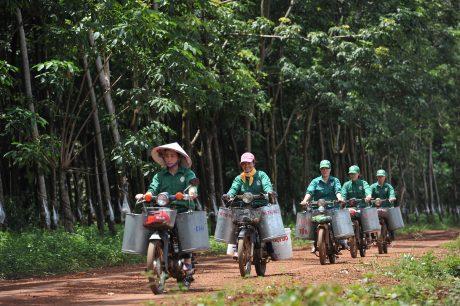 Công nhân Nông trường Minh Hưng trên đường ra lô cao su.
