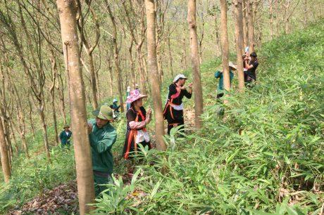Công nhân Nông trường cao su Phong Thổ và người dân tham gia khai thác mủ cao su