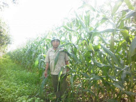 Anh Ngô Kim Chủy, nhân viên bảo vệ Đội 4 - tại rẫy bắp trồng xen canh của gia đình trong vườn cao su non Đội 4, NT Xà Bang, Công ty CPCS Bà Rịa19
