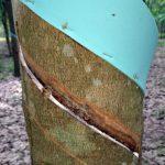 Cảnh báo bệnh hại cao su đầu mùa mưa