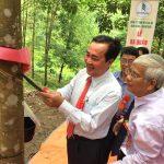 Cao su Nam Giang–Quảng Nam đưa 500 ha cao su vào khai thác