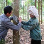 Cao su Điện Biên chú trọng đào tạo tay nghề khai thác