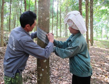 Công nhân Nông trường Cao su Điện Biên (Công ty Cổ phần Cao su Điện Biên) thiết kế miệng cạo
