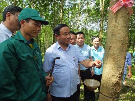 Ông Lê Đình Sơn - Bí thư Tỉnh ủy Hà Tĩnh, kiểm tra cây cao su mở cạo.