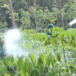 Đảm bảo đúng thời vụ tái canh trồng mới