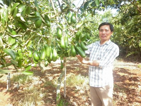 Anh Quốc Minh bên vườn bơ trĩu quả