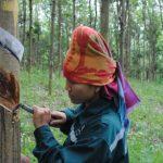 Phấn khởi mùa cạo cao su Tây Bắc