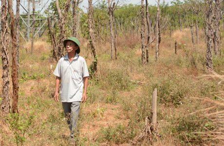 Nỗi buồn của ông Lê Văn Láng - thôn Phú Bình, xã Ia Le, huyện Chư Pưh - Gia Lai bên những trụ tiêu chết trắng