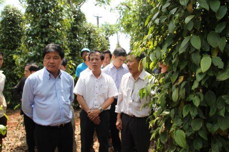 Thứ trưởng Bộ NN&PTNT Lê Quốc Doanh khảo sát vườn tiêu tại huyện Chư Pưh, Gia Lai tháng 3/2017.