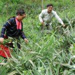 Nâng thu nhập từ trồng xen dứa trong cao su