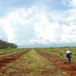 Băn khoăn trồng xen cao su lấy gỗ - mủ trên địa bàn Tây Nguyên