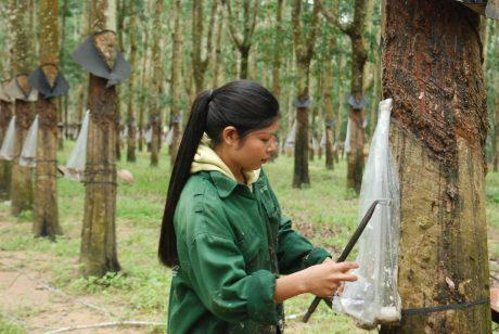 Công nhân Công ty TNHH MTV Cao su Kon Tum thu hoạch mủ với màng phủ chén mủ trong mùa mưa.