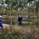 Cao su Chư Sê - Kampong Thom: Nhiều giải pháp chăm sóc vườn cây