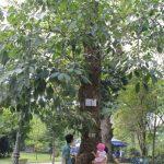 Những cây cao su đầu tiên tại Thảo Cầm Viên - Sài Gòn