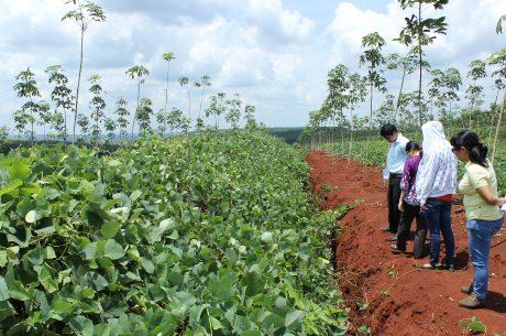 Vườn cây KTCB trồng thảm phủ họ đậu tại Công ty Lộc Ninh. Ảnh: Phan Thắng