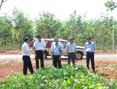 Lãnh đạo VRG và công ty kiểm tra vườn cây kiến thiết cơ bản. Ảnh: Vũ Phong