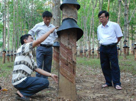 Kiểm tra trang bị mái che mưa trước mùa cạo mới tại Công ty TNHH MTV Cao su Kon Tum. Ảnh: Văn Vĩnh
