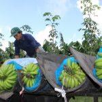 Cao su Dầu Tiếng làm nông nghiệp công nghệ cao