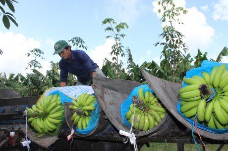 Thu hoạch chuối trồng xen canh tại Cao su Dầu Tiếng.Ảnh: Phan Thắng.
