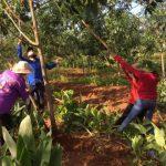 Kinh nghiệm khắc phục thiệt hại vườn cây do mưa bão
